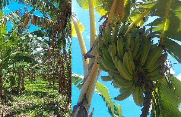 Bananen sind eine gesunde und wohlschmeckende Energiequelle.