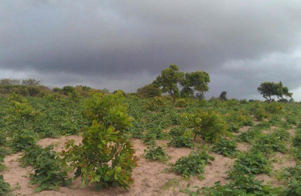 So weit das Auge reicht: Frisch angepflanzte Caju und Bohnen.