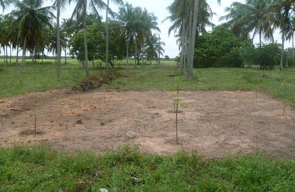 Die jungen Moringa-Bäumchen sehen noch unscheinbar aus - gedeihen in Kürze jedoch zu hohen Bäumen.