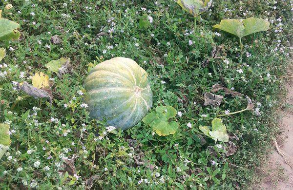 Auf der Nós na Vida Farm gedeihen viele Feldfrüchte, beispielsweise Kürbisse.