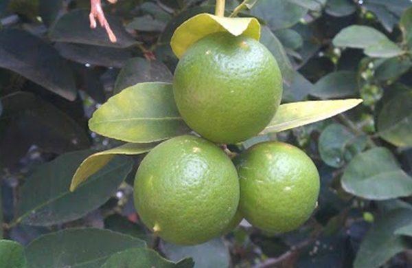 Auch Limetten gedeihen hervorragend in der Sonne Brasiliens.