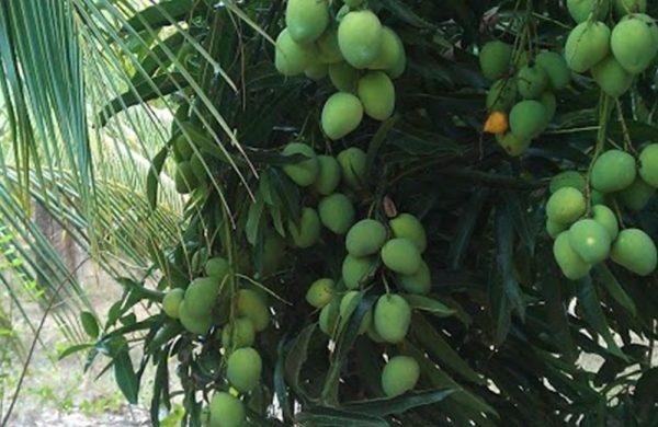 Noch sind die Mangos am Baum nicht reif - aber bald! Dann schmecken sie herrlich süß, saftig und aromatisch.