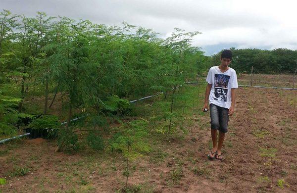 Die Moringa-Bäume wachsen schnell im brasilianischen Klima.