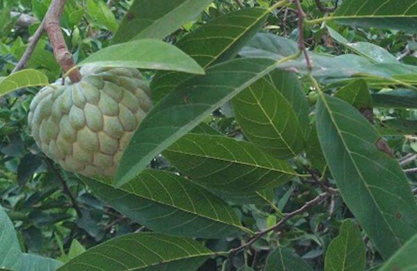 Die großen, zapfenartigen Früchte des Pinia Baumes sind essbar.
